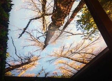 Матовый натяжной потолок с деревьями НП-510